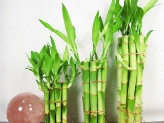 چند ساقه بامبو ایده آل است؟